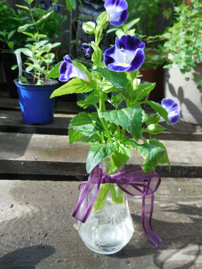 Torenia rooted in water