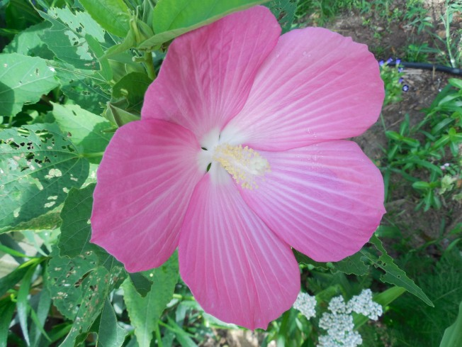 dinner plate hibiscus