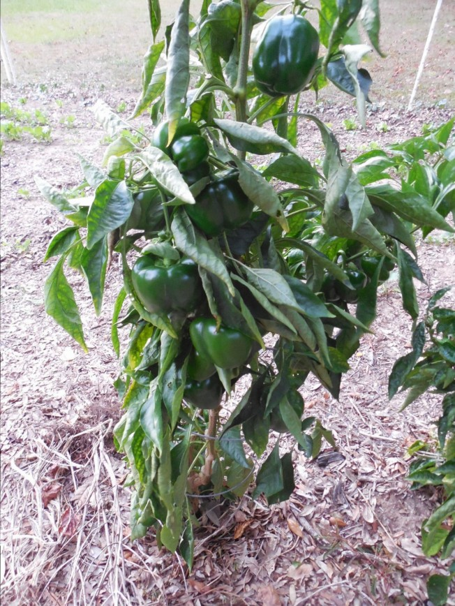 Florida fall garden pepper plant