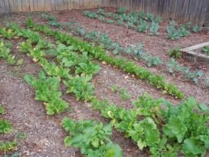Florida winter vegetable garden