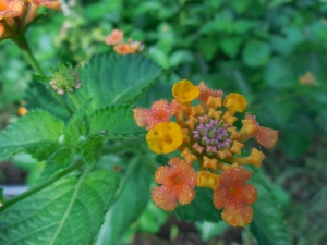 orange lantata flower