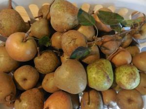 sand pears