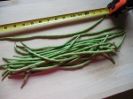 How to Grow Yard Long Beans (aka Asparagus Beans) (aka Snake Beans) (aka NoodleBeans)
