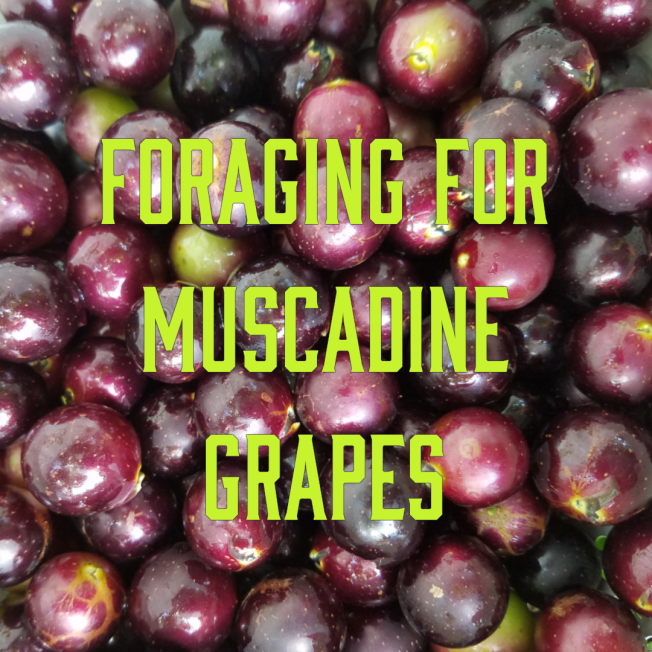 Foraging for Muscadine Grapes
