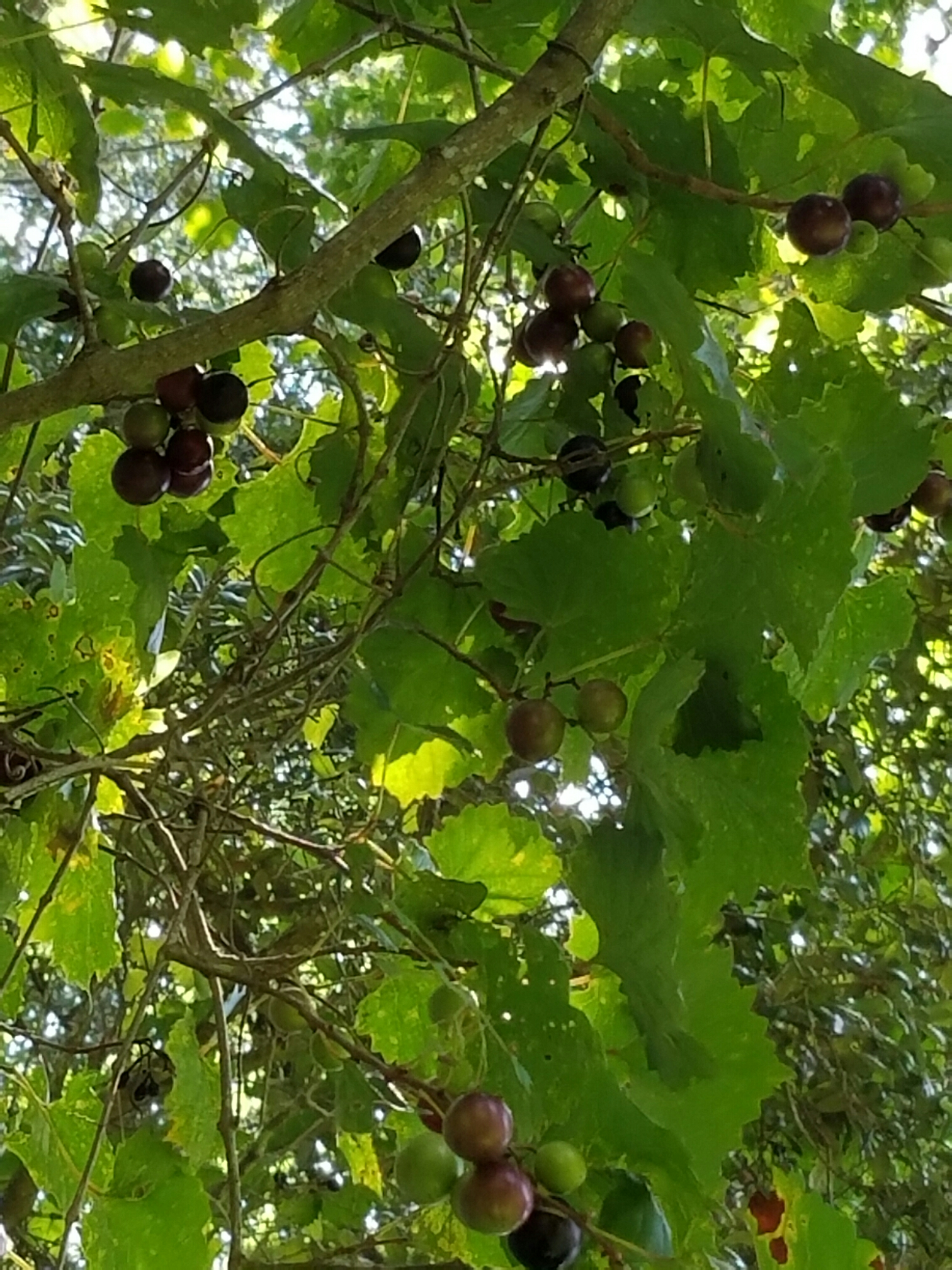 foraging for muscadine grapes in my backyard coffee to compost